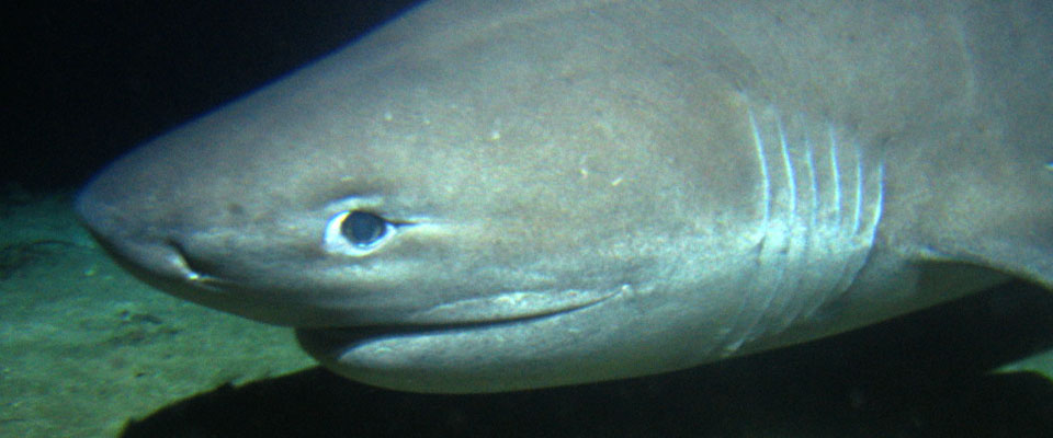 Six gill shark expedition roatan institute of deepsea for Do all fish have gills